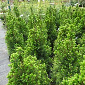 tuje, rośliny wiecznie zielone w naszym centrum ogrodniczym