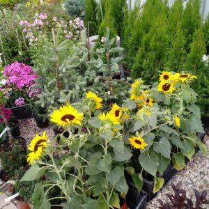 słoneczniki w centrum ogrodniczym