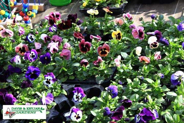 Centrum ogrodnicze - asortyment, kwiaty, bratki